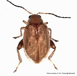 Phil Bendle Collection:Beetle (Ragwort flea beetle) Longitarsus jacobaeae