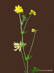 Phil Bendle Collection:Lotus tenuis (Narrow-leaf Bird s-foot Trefoil)