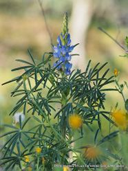 Phil Bendle Collection:Lupinus angustifolius (Blue lupin)