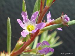 Phil Bendle Collection:Lythrum hyssopifolia (Hyssop Loosestrife)