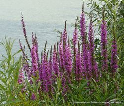 Phil Bendle Collection:Lythrum salicaria (Purple loosestrife)