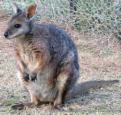 Phil Bendle Collection:Wallaby (Dama) Macropus eugenii