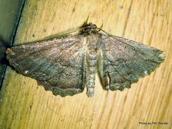 Phil Bendle Collection:Gellonia dejectaria (Brown evening moth)