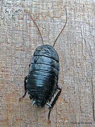 Phil Bendle Collection:Cockroach (Black) Maoriblatta novaeseelandiae .