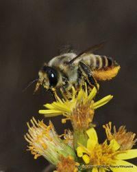 Phil Bendle Collection:Bee (Lucerne leafcutting bee) Megachile rotundata