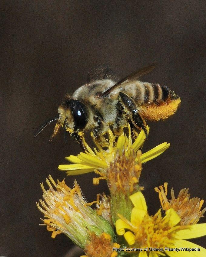 1-Megachile lagopoda 4.jpg