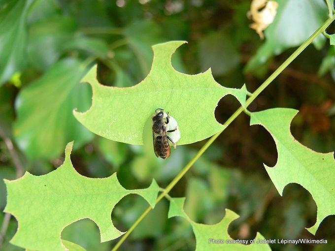 1-Megachile rotundata 3.JPG