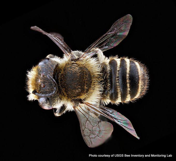 1-Megachile rotundata male.jpg