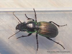 Phil Bendle Collection:Beetle (Alexander) Megadromus antarcticus