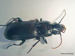 Phil Bendle Collection:Beetle (Ground) Megadromus vigil