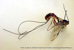 Phil Bendle Collection:Wasp (Giant sirex wasp parasite) Megarhyssa nortoni