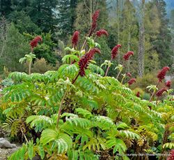 Phil Bendle Collection:Melianthus major (Cape honey flower)