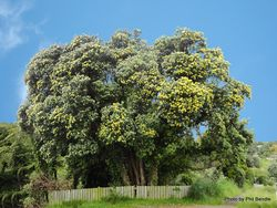 Phil Bendle Collection:Metrosideros excelsa Aurea (Yellow Pohutukawa)