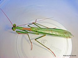 Phil Bendle Collection:Praying mantis (African) Miomantis caffra