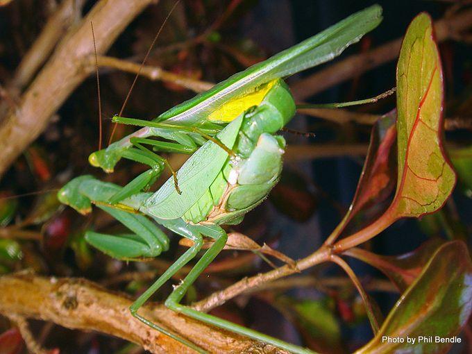 1-Miomantis caffra African Praying mantis-001.JPG