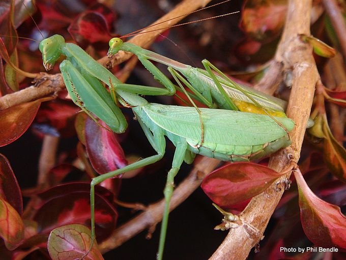 1-Miomantis caffra African Praying mantis.JPG