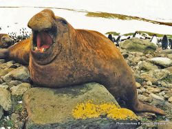 Phil Bendle Collection:Seal (Elephant) Mirounga leonine