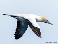 Phil Bendle Collection:Gannet (Morus serrator)