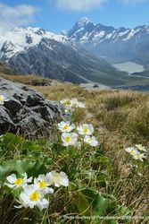 Phil Bendle Collection:Ranunculus lyallii (Mount Cook lily)