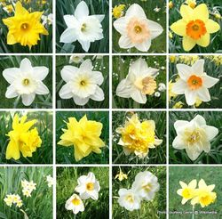 Phil Bendle Collection:Narcissus (Genus) Daffodils