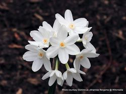 Phil Bendle Collection:Narcissus papyraceus (Paperwhite)