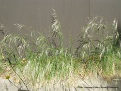 Phil Bendle Collection:Nassella neesiana (Chilean needle grass)