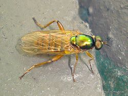 Phil Bendle Collection:Fly (Soldier, Green) Neactina opposita