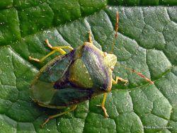 Phil Bendle Collection:Bug (Shield bug) Green vegetable bug (Nezara viridula)