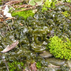 Phil Bendle Collection:Nostoc commune (Star slime)