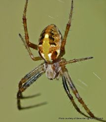 Phil Bendle Collection:Orbweb spider (Novaranea queribunda)
