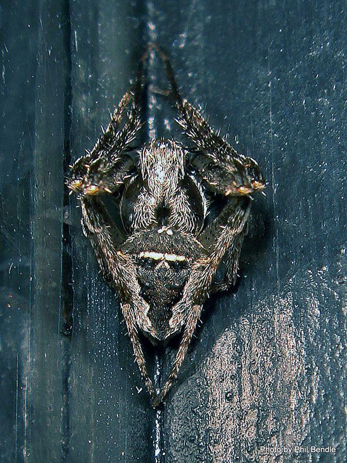 1-Orbweavers Family Araneidae .JPG