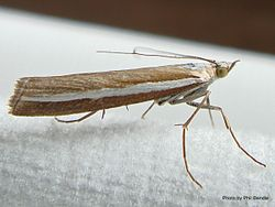Phil Bendle Collection:Orocrambus apicellus (Grass moth)