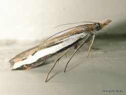 Phil Bendle Collection:Orocrambus flexuosellus (Grass moth)