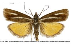 Phil Bendle Collection:Orocrambus heliotes (Wetland orange moth)