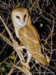 Phil Bendle Collection:Owl (Pacific Barn Owl) Tyto javanica