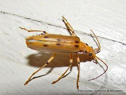 Phil Bendle Collection:Beetle (Lax) Spotted (Parisopalpus nigronotatus)