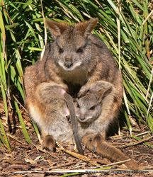 Phil Bendle Collection:Wallaby (Parma) Macropus parma