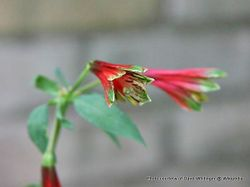 Phil Bendle Collection:Alstroemeria psittacina