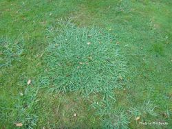 Phil Bendle Collection:Paspalum dilatatum (Paspalum)