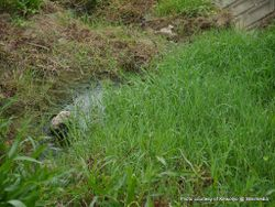 Phil Bendle Collection:Paspalum distichum (Mercer grass)