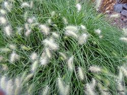 Phil Bendle Collection:Pennisetum alopecuroides (Fountain grass)