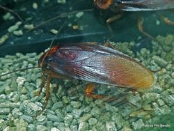 Phil Bendle Collection:Cockroach (American) Periplaneta americana .