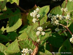 Phil Bendle Collection:Polygonum chinense (Chinese knotweed)