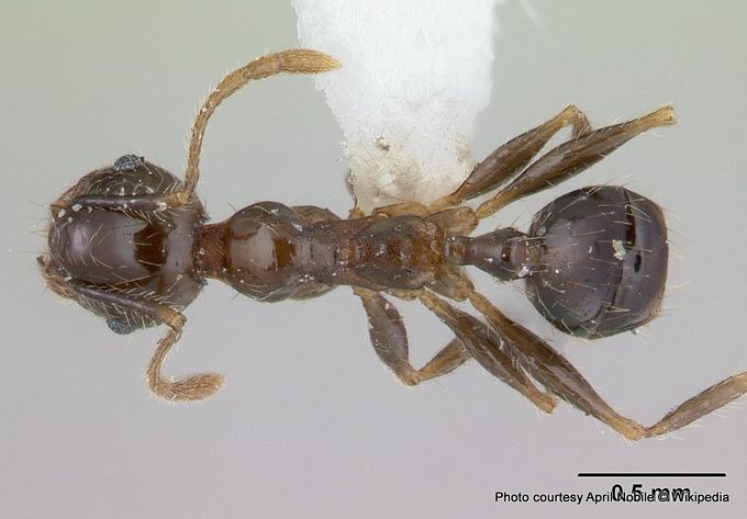 1-Pheidole megacephala iccdrs0003692 dorsal 1.jpg