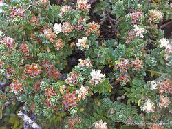 Phil Bendle Collection:Pimelea villosa (Sand Daphne)