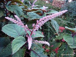 Phil Bendle Collection:Plectranthus fruticosus (Pink Spur Flower) .