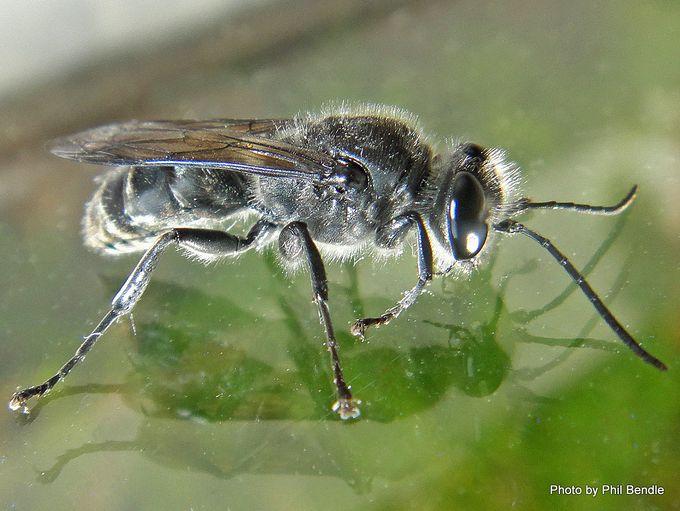 1-Pison spinolae Mason wasp-002.JPG