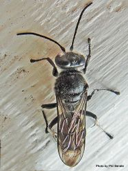 Phil Bendle Collection:Wasp (Mason) Pison spinolae