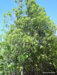 Phil Bendle Collection:Pittosporum colensoi (Black Mapou)
