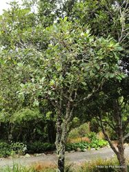 Phil Bendle Collection:Pittosporum huttonianum (Hutton s kohuhu)